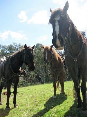 Horses at Jillaroo School, Australia