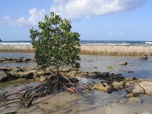 A mangrove in Queensland, Australia.