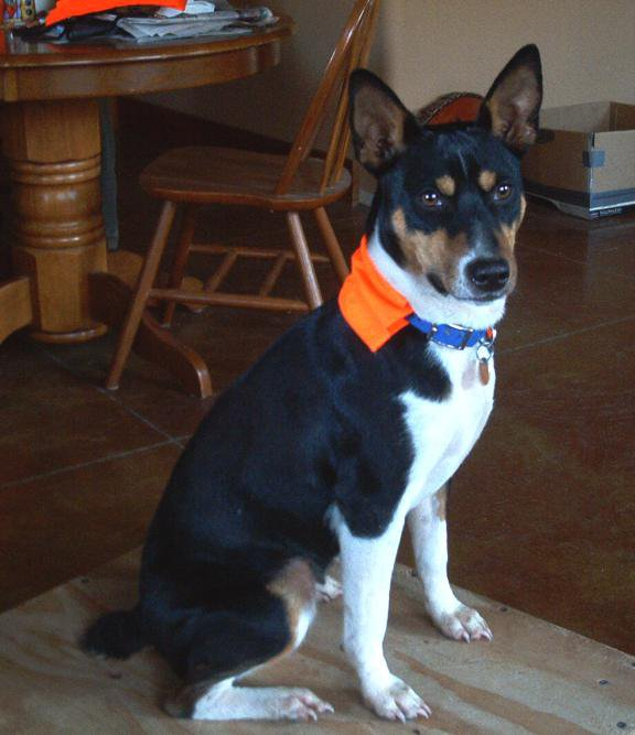 Rat terrier with blaze orange collar