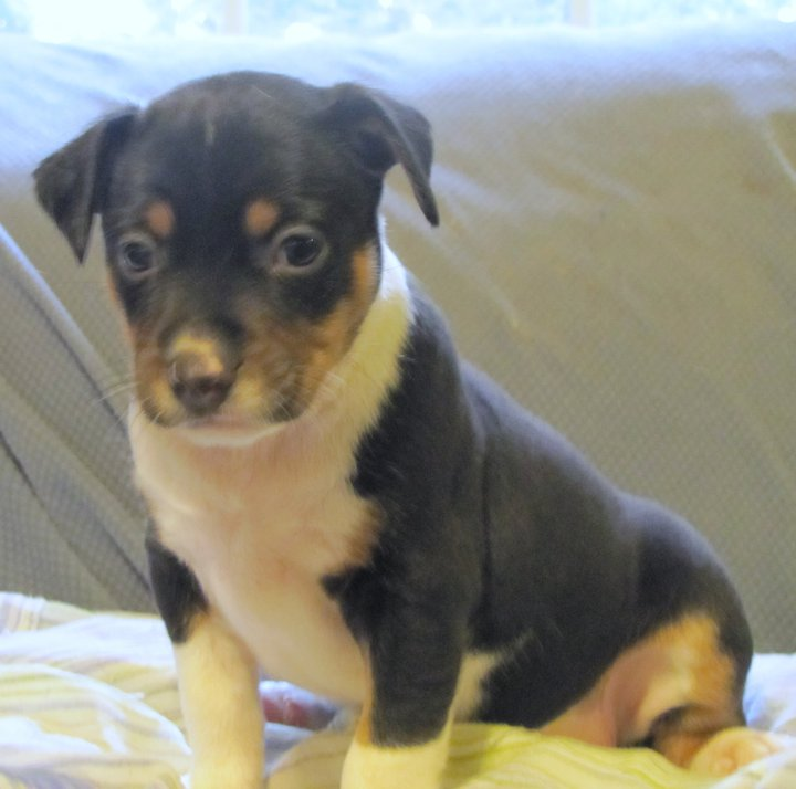 Rat terrier puppy, Clan Clark's Sir Odin.