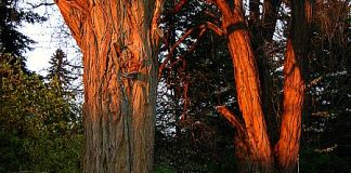 black locust at sunset