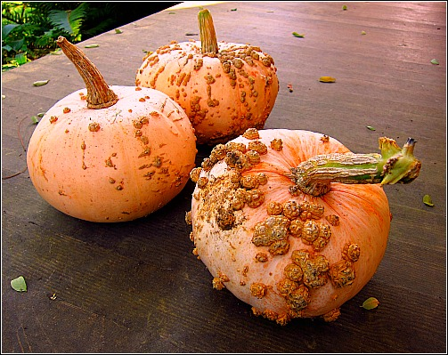 galeux d'eysines winter squash
