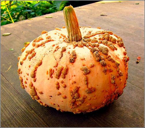 warty pumpkin galeux d'eysines