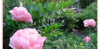 pink oriental poppies