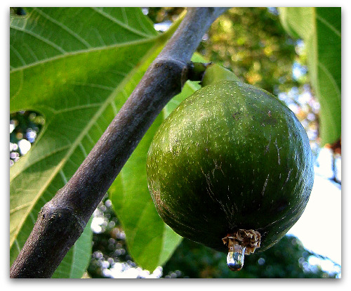 fig is ripe here