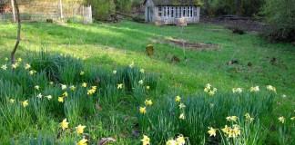 naturalized daffodils
