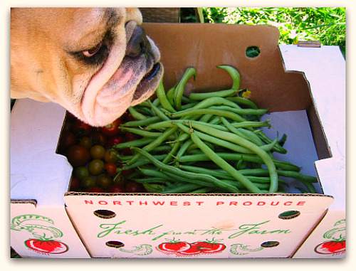 Boz the bulldog loves his green beans