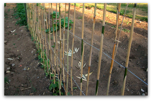 closeup of pole bean trellis