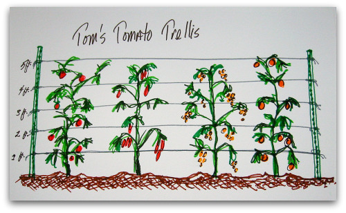 trellis for tomatoes in a row