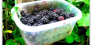 blackberries freshly picked