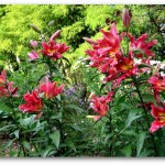 Orienpet lilies, Satisfaction variety