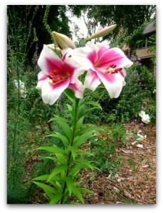 Frisco Orienpet lily in bloom