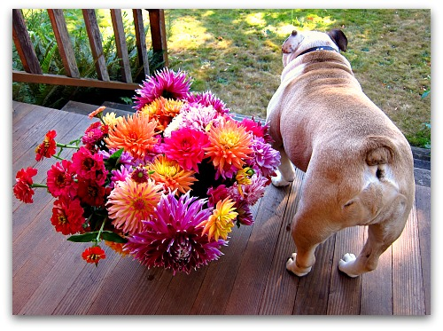 bulldog butt and a bucket of dahlias and zinnias