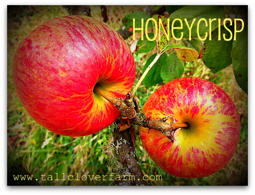 pair of honeycrisp apples