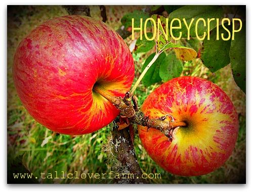 pair of honeycrisp apples