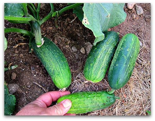 homemade pickles: crisp, crunchy, flavorful pickling cucumber