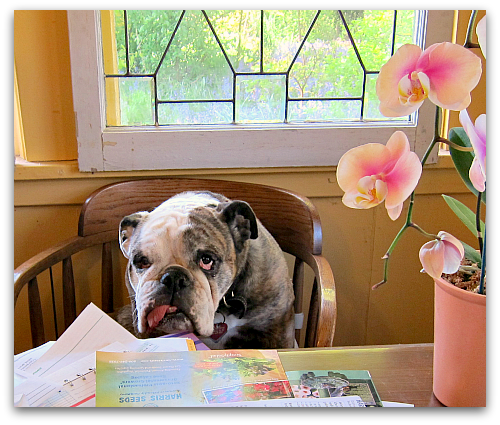cute bulldog at the table tongue hanging out