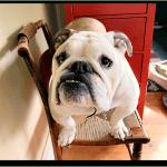 English bulldog staredown