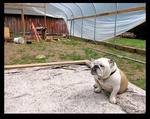 bulldog Boz painters cloth