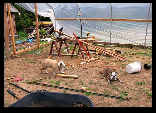 bulldogs in the greenhouse