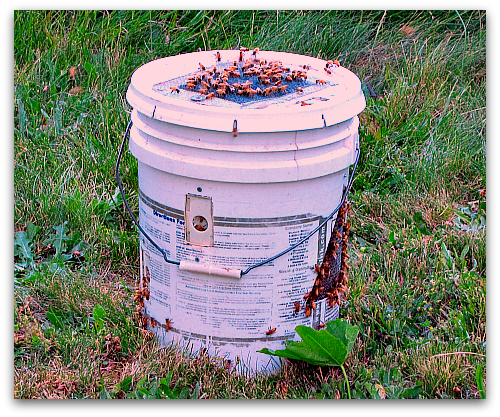 swarm of bees in a relocation bucket