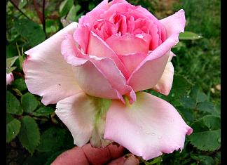David Austin rose Janet
