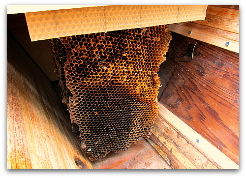 top bar hive honeycomb start