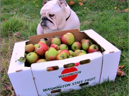 Boz the bulldog case of Bramleys Seedling Apples