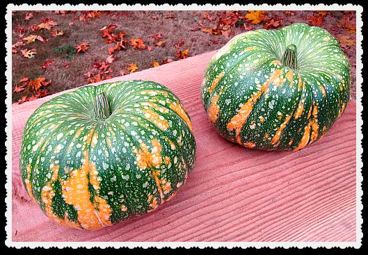 fresh Iran Pumpkins