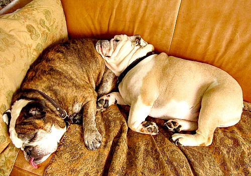 Bulldogs on the sofa