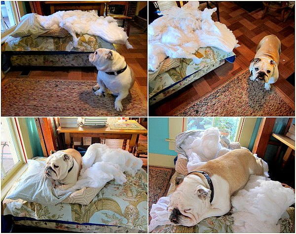 boz the bulldog on cloud 9