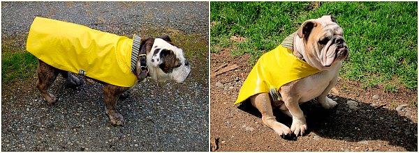bulldog raincoats