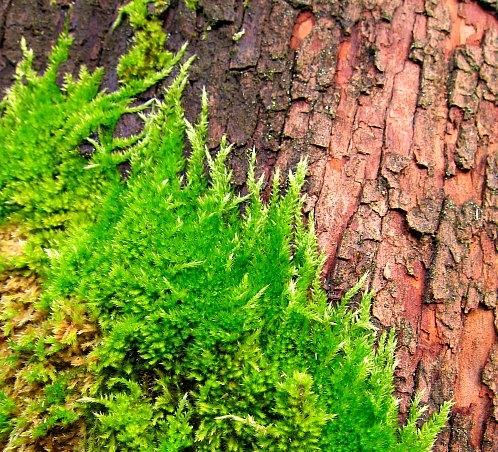 Moss on madrona tree