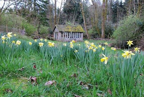 Naturalizing daffodils bulbs