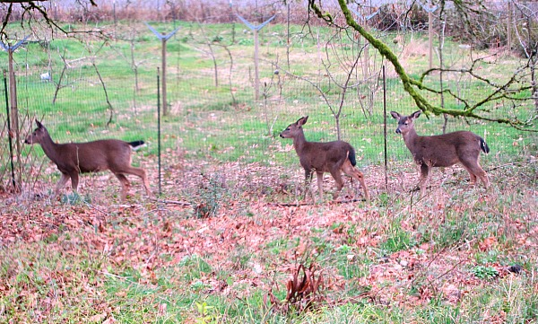 The afternoon lunch crowd thwarted by my orchard deer fence.
