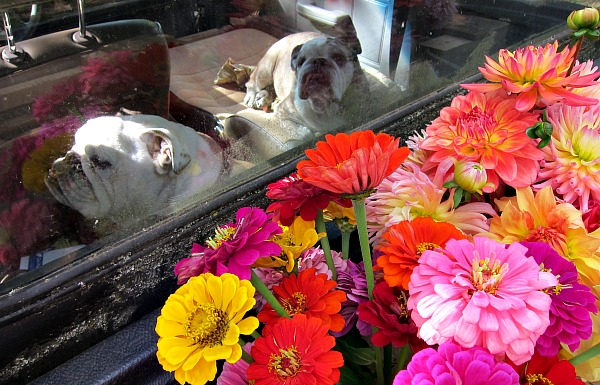 Boz and Gracie ride shotgun while I deliver flowers.