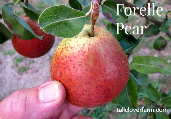 Forelle Pear tree