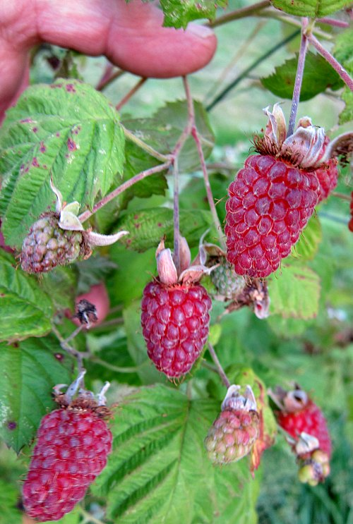 Tayberries Fresh ready to pick