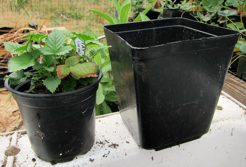 repotting plant tayberry 0