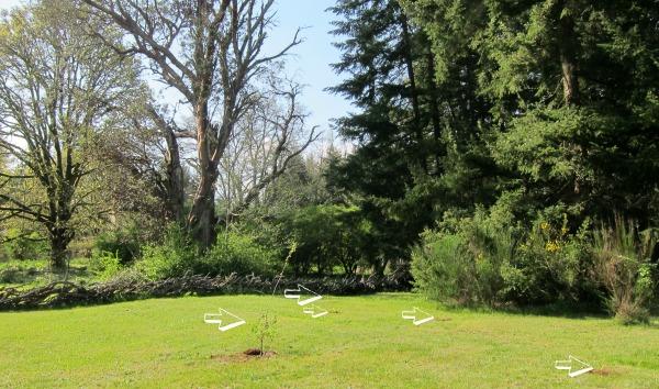 oak trees plantings