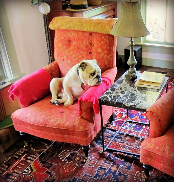 Boz the bulldog on his throne