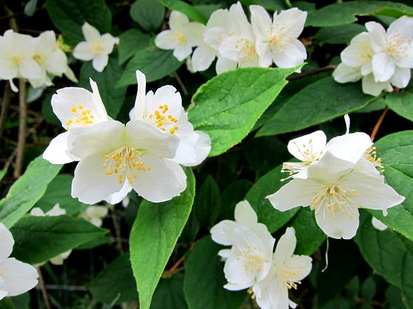 Philadelphus lewisii lewis mock orange