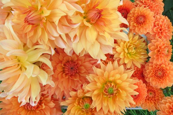 Dahlias: sunshine in a vase