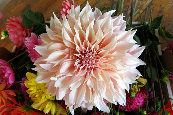 Cafe au lait dahlia, tasty on all levels