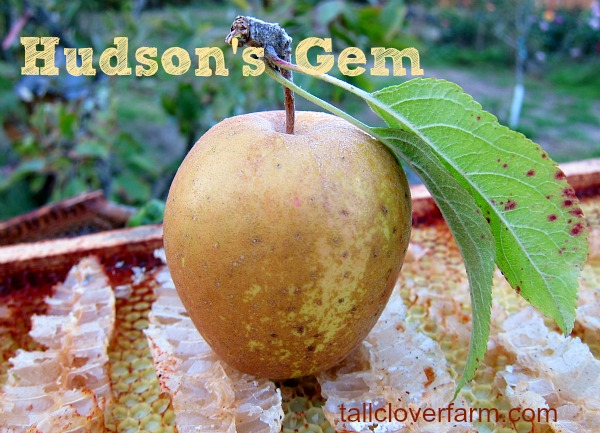 Hudson's Gem apple