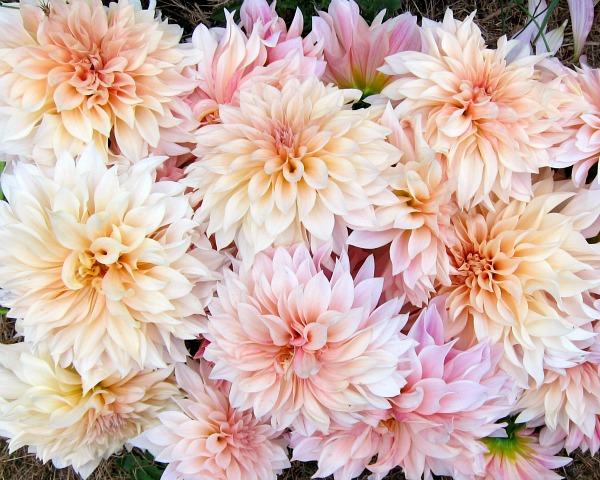 Cafe au lait dahlias: as good as it gets
