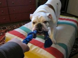 bulldog tug a war with Buddy
