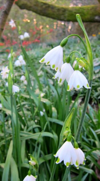 Leucojum Aestivum summer snowflake flower