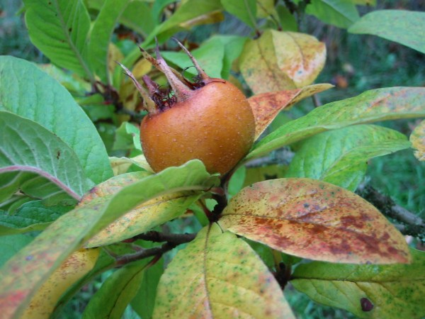 2009_10_24_medlar_apples 002