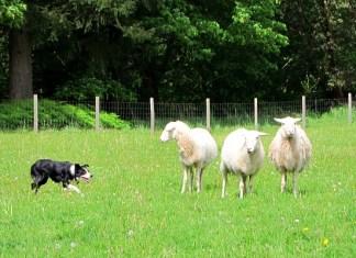 vashon sheepdog classic border collie